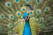 Free Beautiful Color Peacock Stock Photography - 7758142