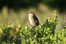 Free Cape Grassbird Stock Photos - 7758773