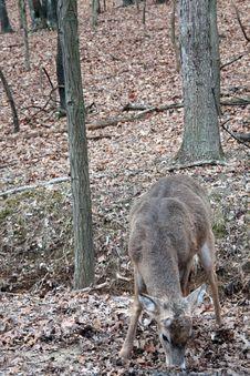 Free Whitetail Deer Stock Image - 7759401
