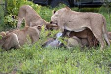 Free Lion Family Eating Their Prey Stock Photography - 7759682