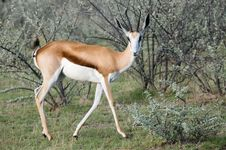 Free Springbok Elegant Side View Royalty Free Stock Images - 7759849
