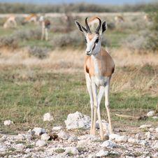 Free Springbok Front View Stock Photos - 7759893