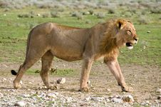 Free Lion Walking By, Namibia Royalty Free Stock Image - 7759916