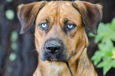 Husky Hound Outdoor Adoption Photo Stock Photography