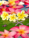 Free Colorful Plumeria In The Pool Royalty Free Stock Photos - 7761378