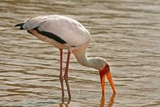 Free Yellow Billed Stork Stock Image - 7761581