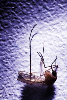 Free Dead Mosquito. Royalty Free Stock Photography - 7762517