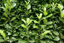 Free Green Leaves Stock Images - 7762934