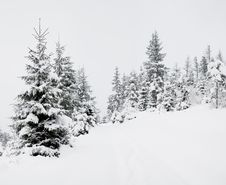 Free Fir-trees Royalty Free Stock Images - 7762959
