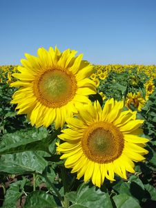 Free Sunflower Royalty Free Stock Image - 7764686