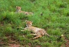 Free Two Cheetah Cubs Royalty Free Stock Photos - 7764858
