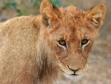 Free Lion Cub Royalty Free Stock Photography - 7764997