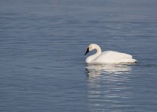 Free Trumpter Swans And Blue Water Stock Photo - 7765390