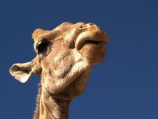 Free Giraffe Royalty Free Stock Image - 7765566