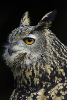 Free Great Horned Owl Stock Image - 7767061