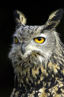 Free Great Horned Owl Stock Image - 7767261