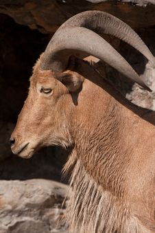 Free Barbary Sheep Royalty Free Stock Photo - 7767265