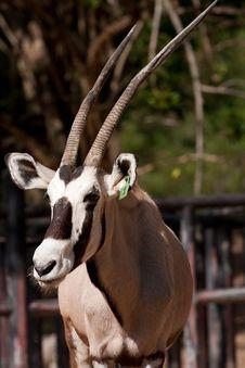 Gemsbok (Oryx) Stock Photo
