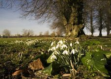 Snowdrops Under The Tree Stock Image