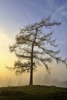 Single Larch  At Sunset Stock Image