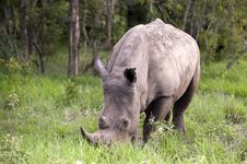 Free Rhino In Kruger Park Royalty Free Stock Photography - 7768567