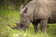 Free Rhino In Kruger Park Royalty Free Stock Images - 7768639