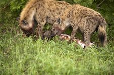 Free Hungry Hyenas Royalty Free Stock Photos - 7768678