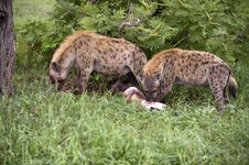 Free Hungry Hyenas Stock Photography - 7768682