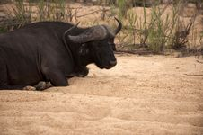 Free Buffalo Bull Stock Images - 7768694
