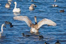 Swan Royalty Free Stock Photos