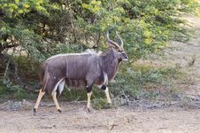 Free Striding Nyala Bull Royalty Free Stock Photos - 7769958
