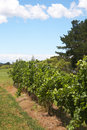 Free Ripening Grapes In The Vineyard Royalty Free Stock Photos - 7770728
