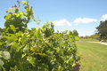 Free Vineyard On The Golf Course Stock Images - 7770854