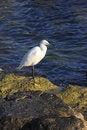 Free White Heron Royalty Free Stock Photos - 7771208