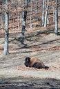 Free Buffalo Royalty Free Stock Photos - 7773408