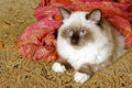Free Ragdoll Kitten Royalty Free Stock Photography - 7774877