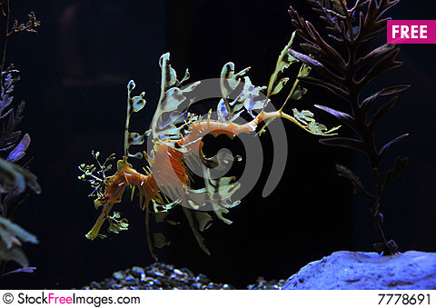 Seadragon Stock Photo