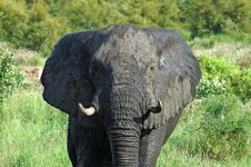 Africa Elephant Royalty Free Stock Photography