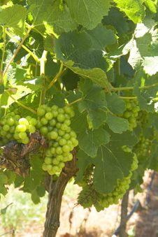 Free Ripening Grapes In The Vineyard Royalty Free Stock Image - 7770566