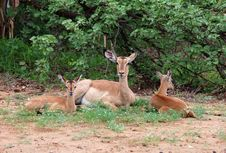 Free Impala Antelope In South Africa Stock Photos - 7770673
