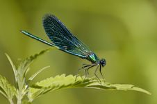 Free Green Dragonfly Royalty Free Stock Photography - 7772267