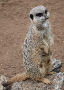 Free Meerkat (Suricata Suricata) Royalty Free Stock Image - 7772376