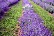 Free Rows Of Lavender Flowers Royalty Free Stock Images - 7772459