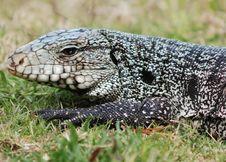 Free Alligator Tupinambis Merianae Stock Photo - 7772520