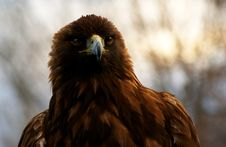 Free Portrait Of A Golden Eagle (Aquila Chrysaetos) Stock Photography - 7774772