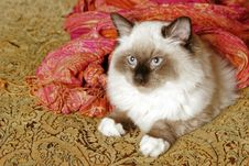 Free Ragdoll Kitten Royalty Free Stock Photography - 7774877