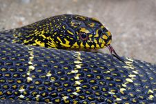 Free Bull Snake Stock Photos - 7776263