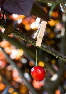Free Red Cherry Pinned To A Branch Royalty Free Stock Photography - 7777187