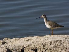 Free Spotted Redshank Stock Photos - 7778053