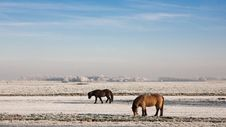 Free Horses In The Snow Stock Photography - 7779012